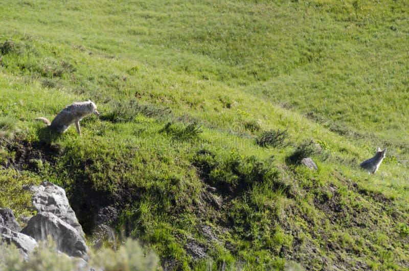 Para kojoty obrazy stock