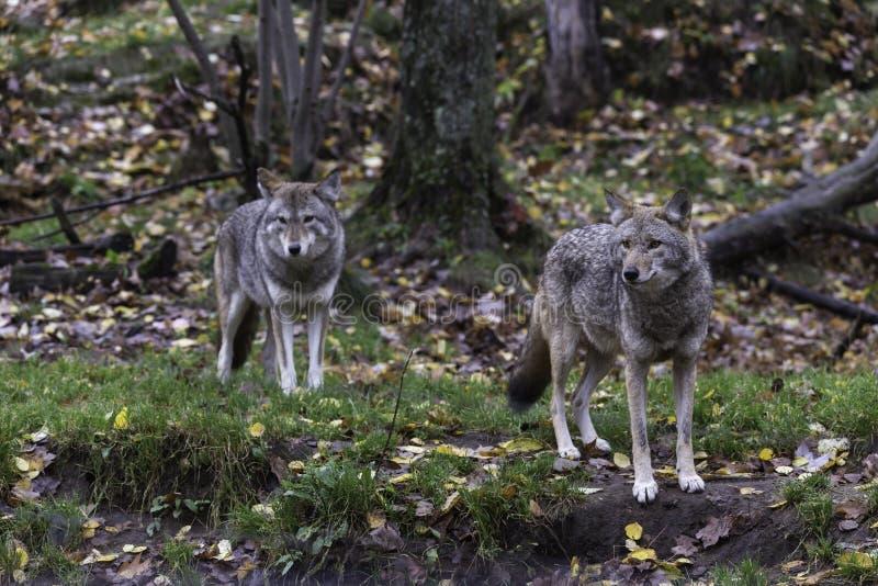 Para kojoty w spadku, lasowy środowisko fotografia royalty free