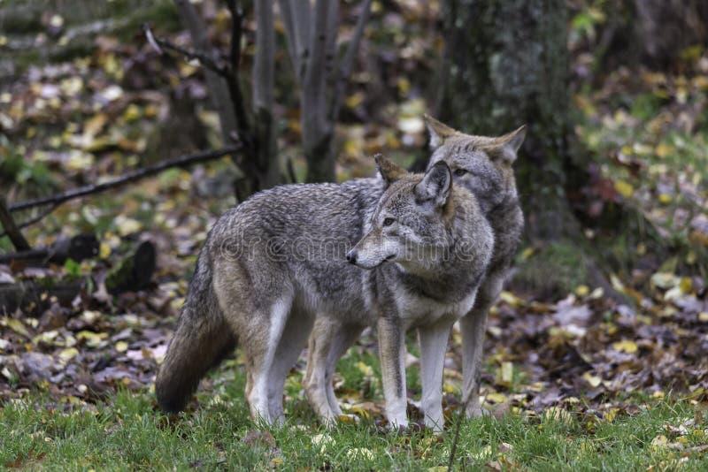 Para kojoty w spadku, lasowy środowisko obraz stock