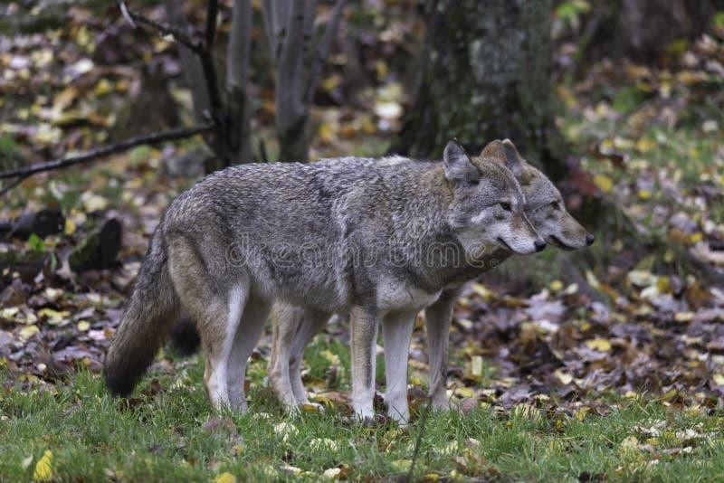 Para kojoty w spadku, lasowy środowisko zdjęcia royalty free