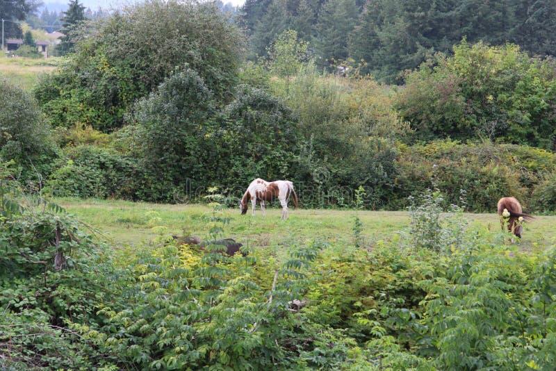 Para konie pasa w polu otaczającym krzakami obrazy royalty free