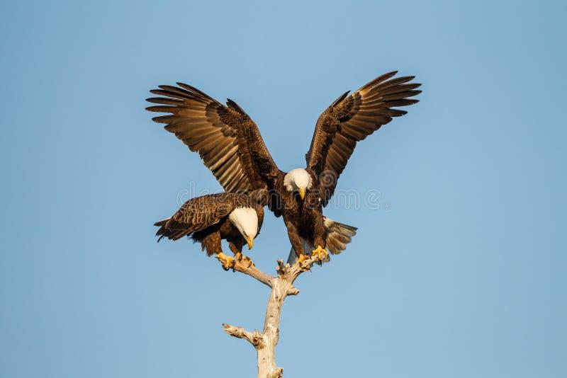 Para kotelnia Amerykański Łysy Eagles obrazy royalty free