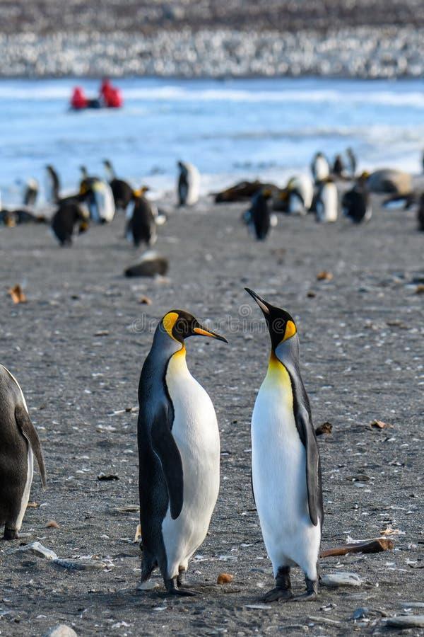 Para królewiątko pingwinów stać wysoki i spajać, w wielkiej koloni pingwiny, na plaży przy St Andrews zatoką, Południowy Gruzja,  zdjęcia stock