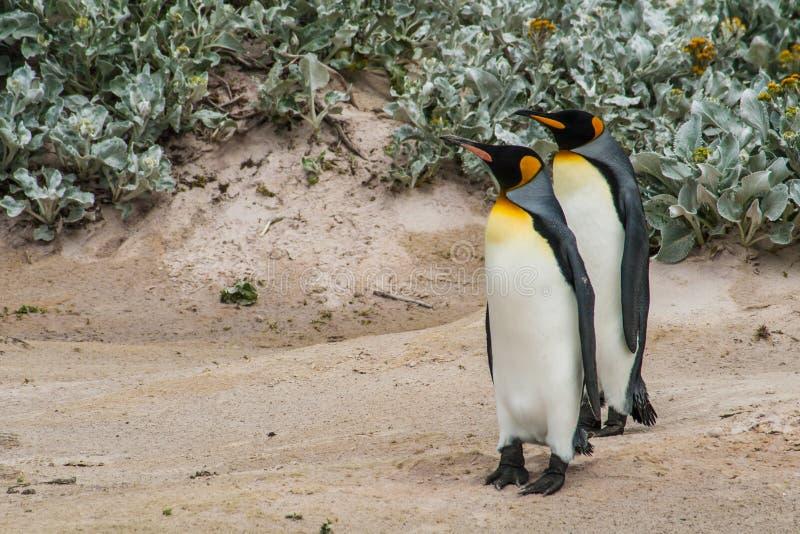 Para królewiątko pingwiny stoi na piasku fotografia stock