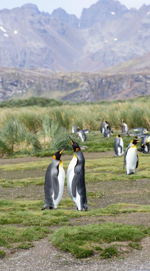 Para królewiątko pingwiny w kotelnia tanu zdjęcia royalty free