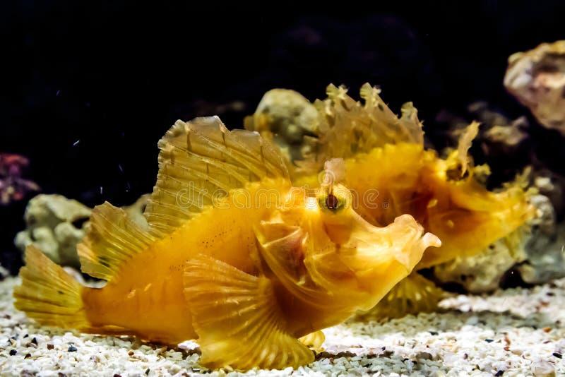 Para liścia scorpionfish pod wodą obrazy royalty free