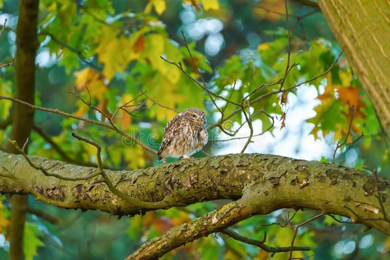 Para Little Owl (Athene noctua) razem na oddziale jesienią, w Wielkiej Brytanii zdjęcia stock
