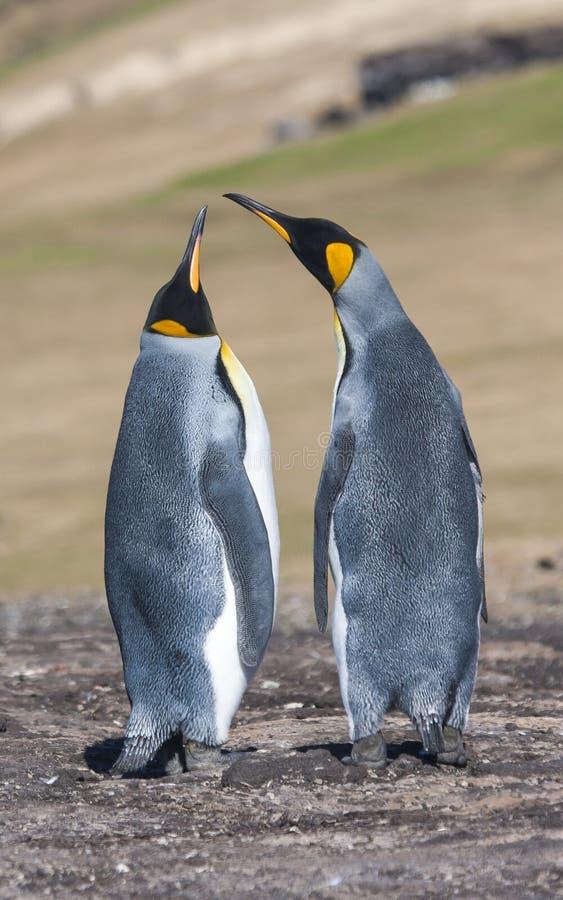 Para lovebirds obraz stock