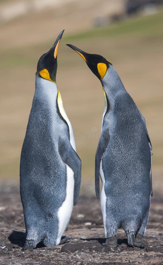 Para lovebirds fotografia stock