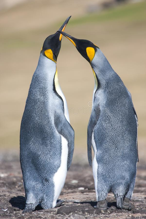 Para lovebirds obraz royalty free