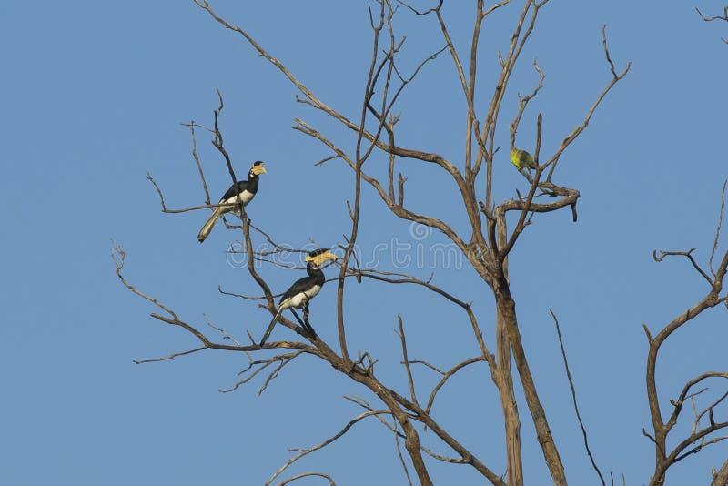 Para Malabar Pied dzioborożec w drzewie obrazy stock