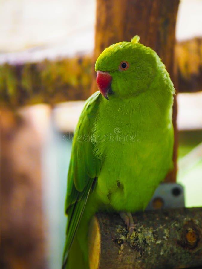 Para ?mieszna zielona papuga n zdjęcie stock