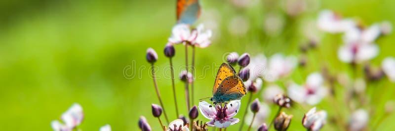 Para motyle zbiera nektar i pollen od kwiatu na zamazanym zielonym tle na słonecznym dniu zdjęcie stock