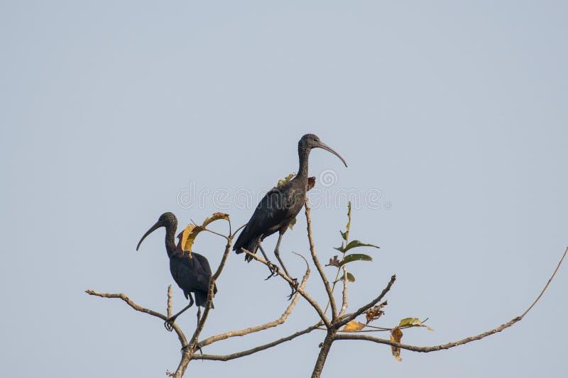 Para niewyrobiony glansowany ibisa obsiadanie na drzewo wierzchołku obraz stock