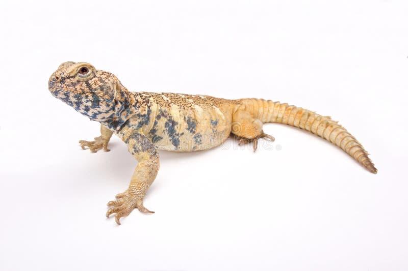Para o sul lagarto Espinhoso-atado Arabian (yemenensis de Uromastyx) fotos de stock royalty free
