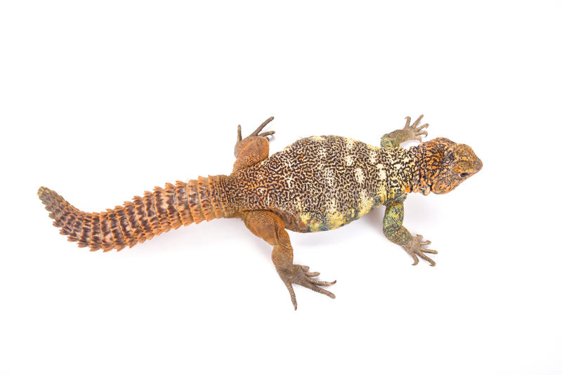 Para o sul lagarto Espinhoso-atado Arabian (yemenensis de Uromastyx) fotografia de stock royalty free