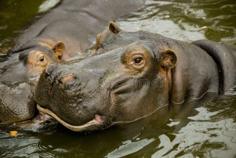 Para okrutnie Afrykańscy hipopotamy Hipopotamy czeka jedzenie otwierali ich usta fotografia stock