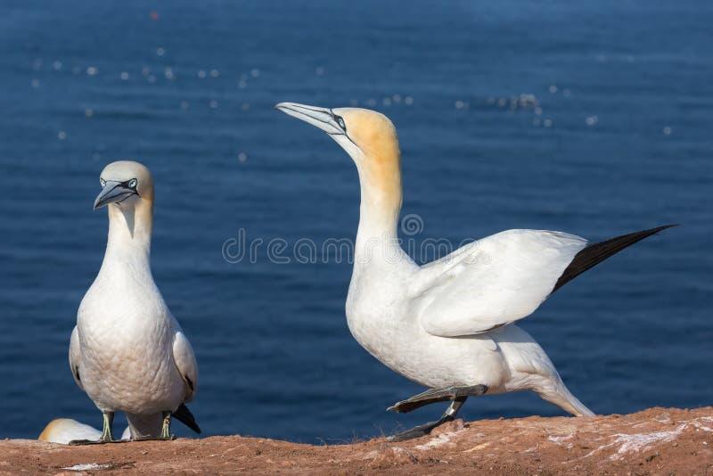 Para Północni gannets w lęgowej koloni przy Helgoland wyspą obrazy stock