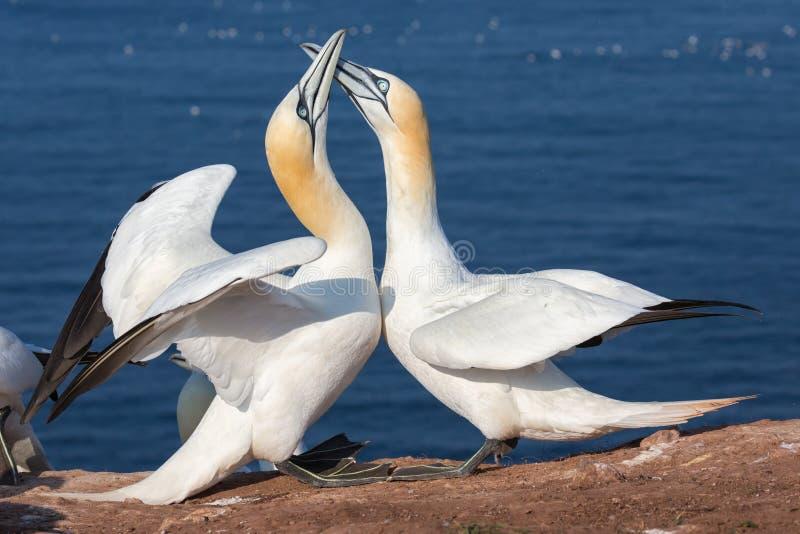 Para Północni gannets w lęgowej koloni przy wyspą Helgoland obraz royalty free
