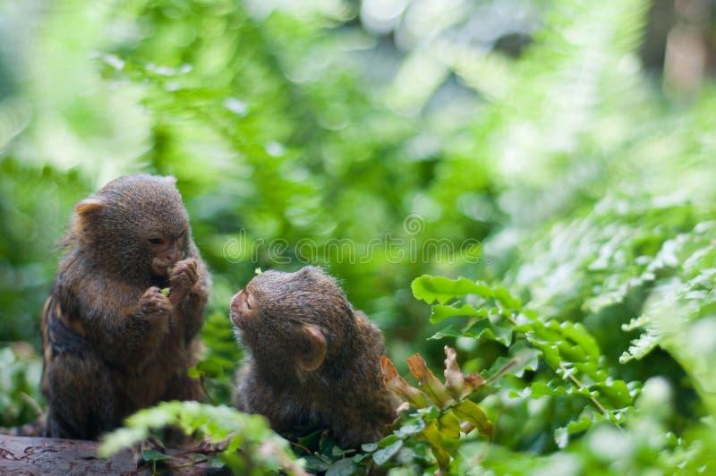 Para pigmej małpuje obsiadanie w zielonej trawie fotografia stock