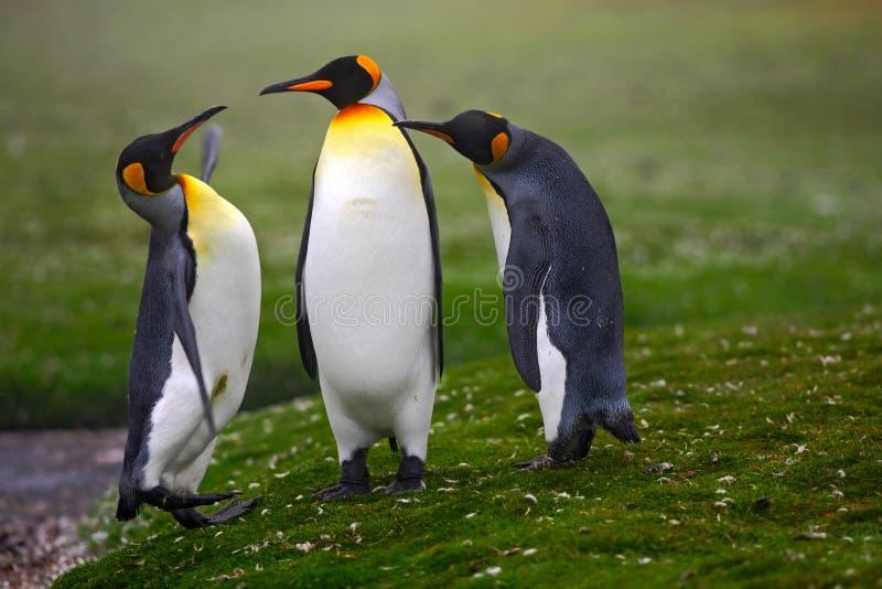 para pingvin Para ihop konungpingvin med grön bakgrund i Falkland Islands Par av pingvin, förälskelse i naturen härligt royaltyfri bild