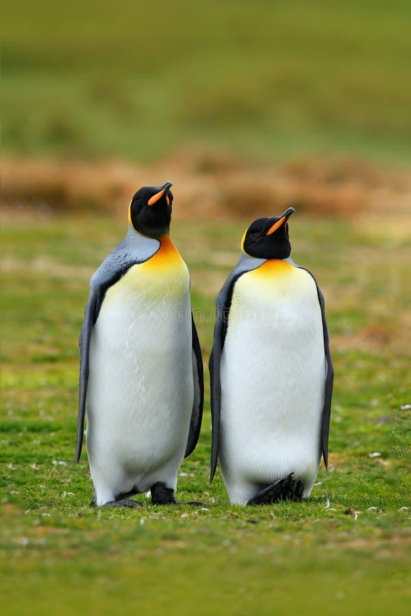 para pingvin Para ihop konungpingvin med grön bakgrund i Falkland Islands Par av pingvin, förälskelse i naturen härligt royaltyfri fotografi
