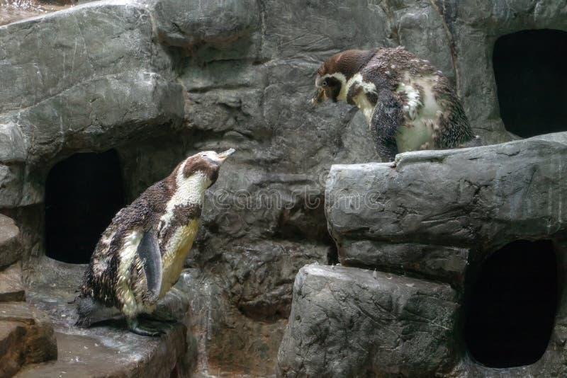 Para pingwinów spheniscus humboldti komunikowała się na skale obraz royalty free