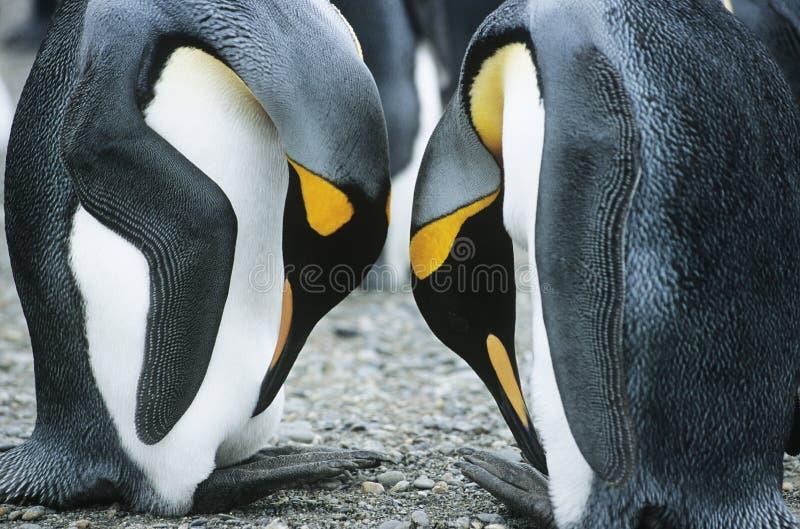 Para pingwiny konfrontacyjni fotografia royalty free