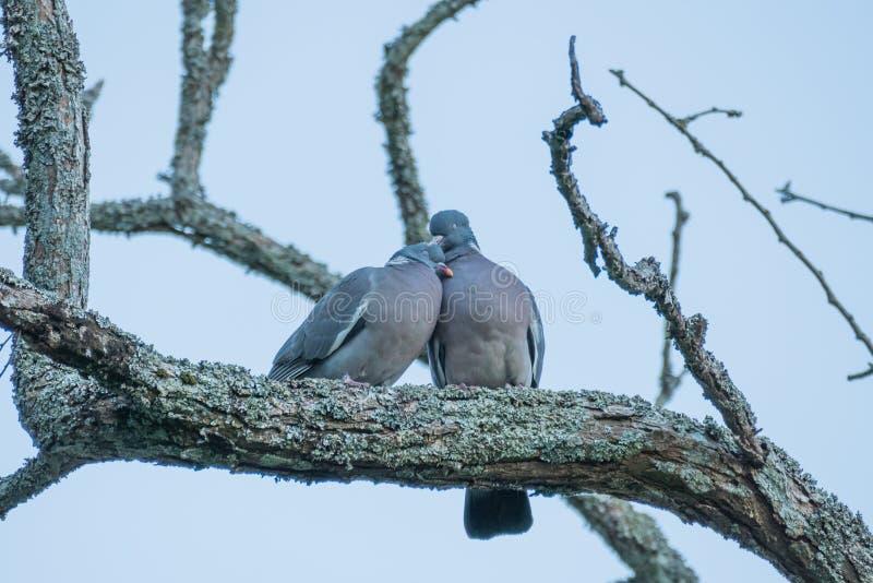 Para popielaci gołębie plenerowi zdjęcie stock
