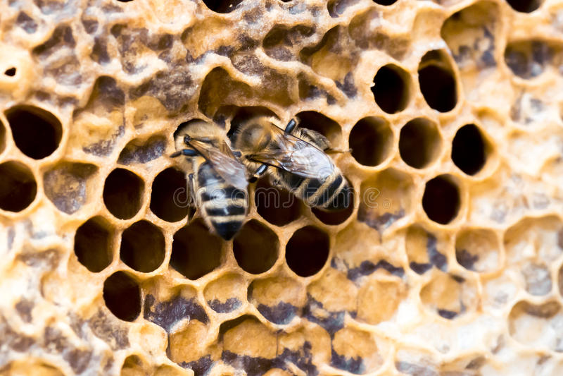 Para pszczoły obraz stock