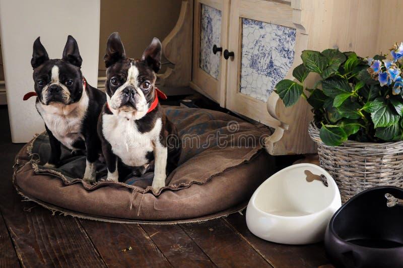 Para słodcy Boston teriery beeing dobrych psy przy jego faworyta kątem w rustical domu na wsi obrazy royalty free