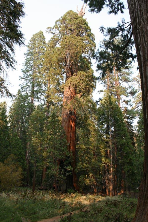 Para salvar a natureza Floresta nacional da sequoia imagem de stock