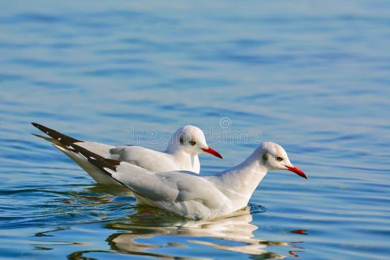 Para seagulls fotografia royalty free