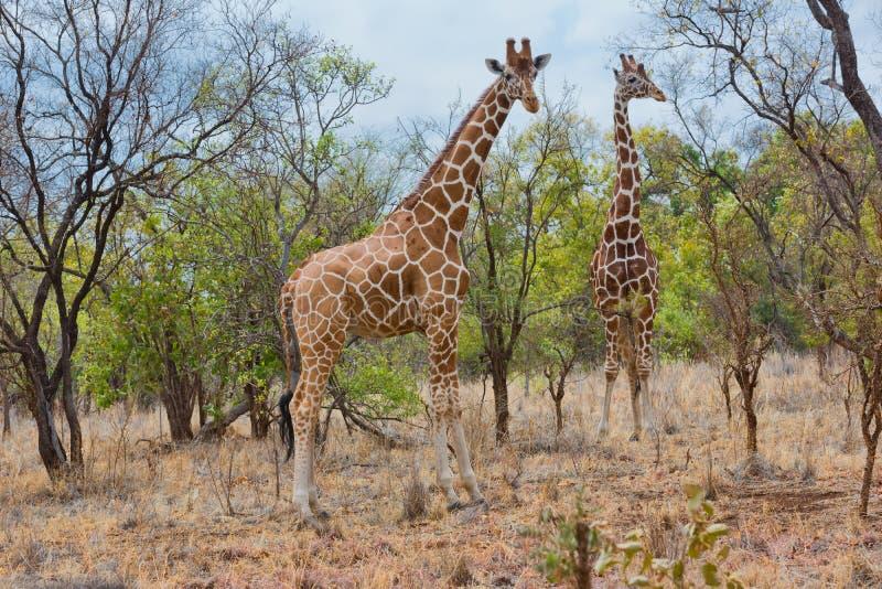 Para Somalijska żyrafa, Meru NP, Kenja fotografia stock
