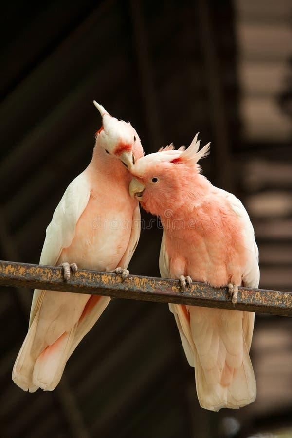 Para Specjalizuję się Mitchell papugi zdjęcia royalty free