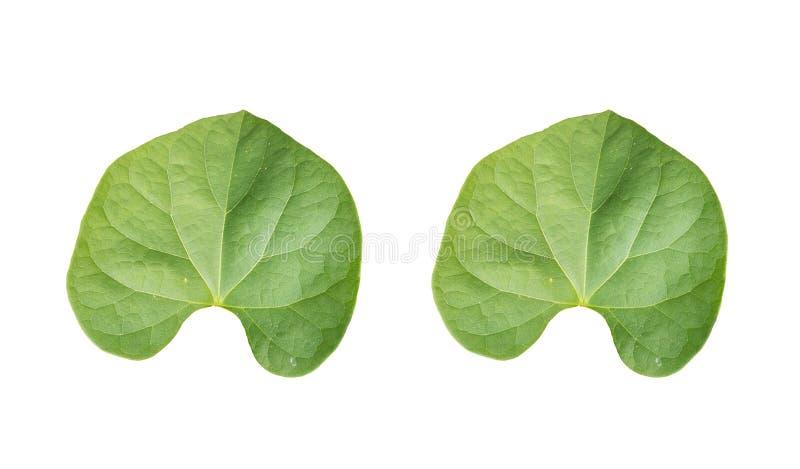 Para trás da folha verde dos pares tropical nos fundos brancos ilustração royalty free