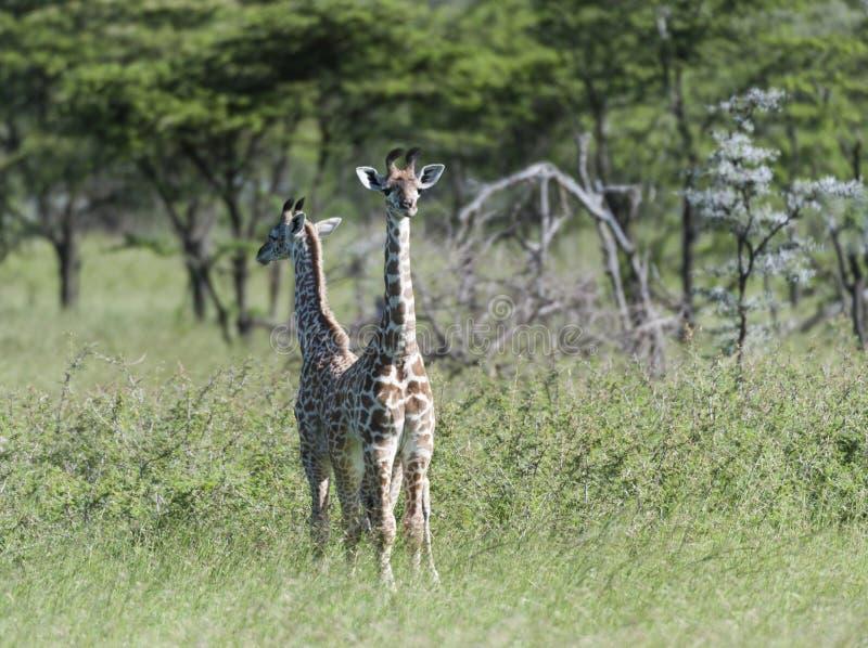 Para trwanie dziecko żyrafa popierać z powrotem obrazy stock