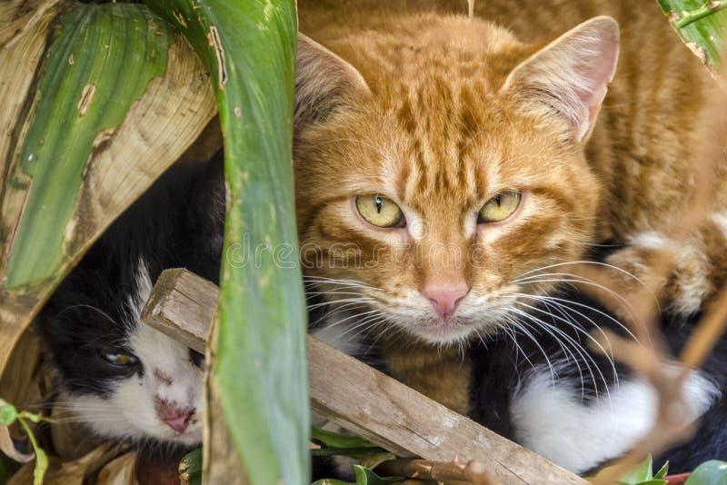 Para uroczy kotów chować zdjęcia royalty free