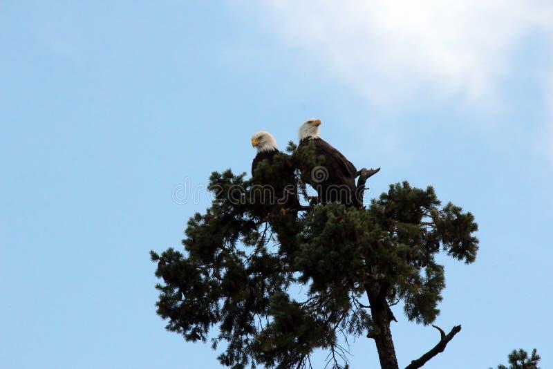 Para Vancouver wyspa Łysy Eagles zdjęcie stock