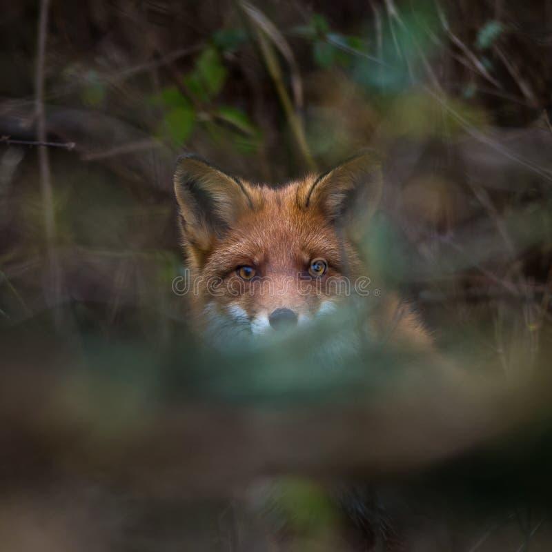 Para ver mas não ser visto, esconder da raposa vermelha imagens de stock