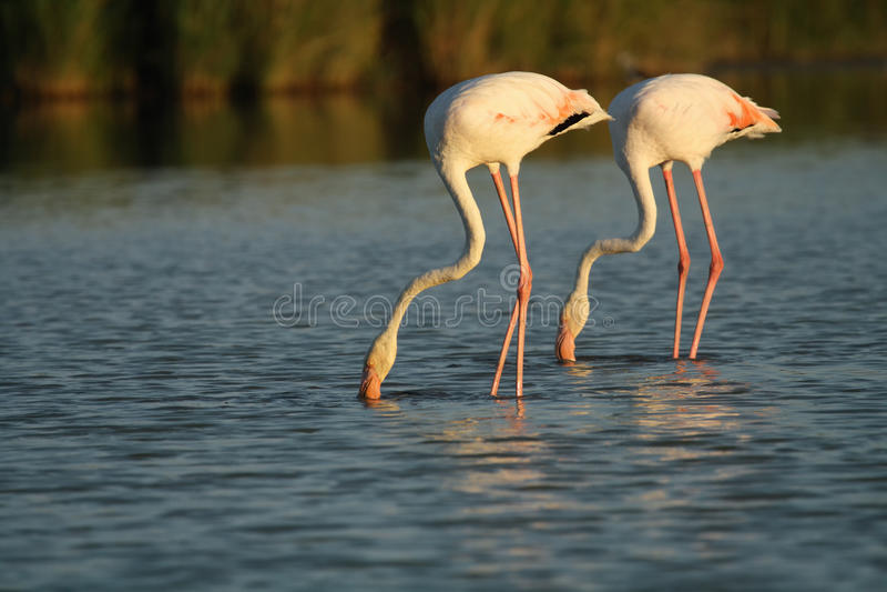 Para wielcy flamingi & x28; Phoenicopterus roseus& x29; brodzenie thr obrazy royalty free