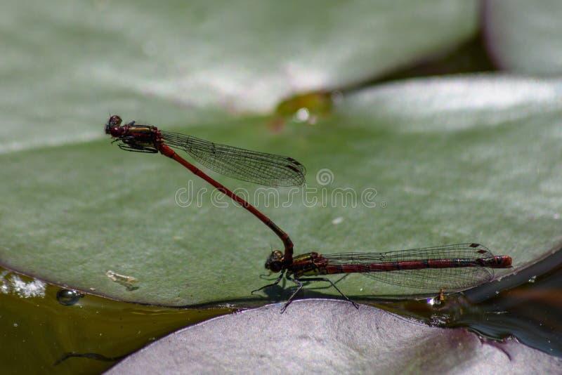 Para wielka czerwona damselflies Pyrrhosoma nymphula kotelnia na liściu na małym stawie waterlilly fotografia stock