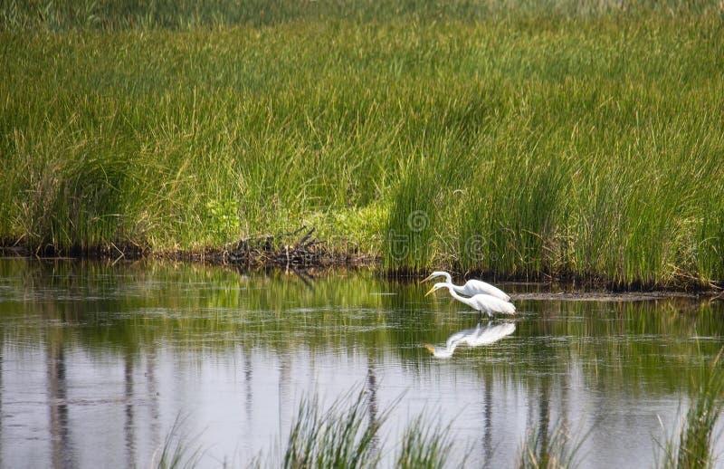 Para Wielki Biały Egret czajenia jedzenie fotografia stock