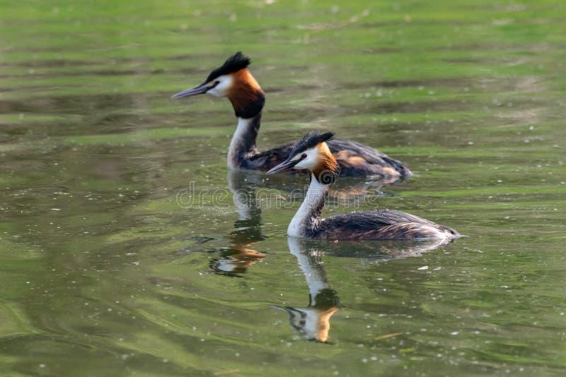 Para Wielki Czubatego perkoza Podiceps cristatus odbicie na spokojnej jezioro wodzie obraz stock