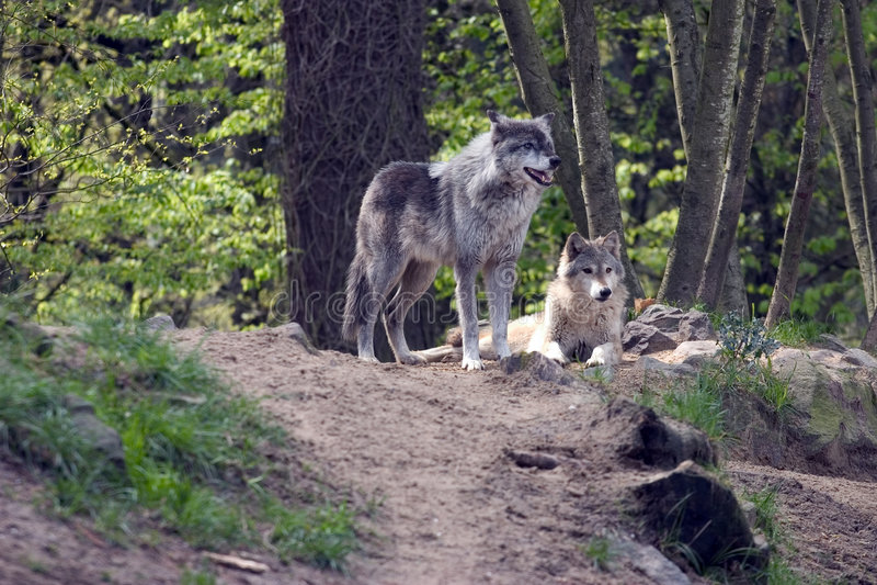Download Para wilki obraz stock. Obraz złożonej z wilk, pies, strach - 127125