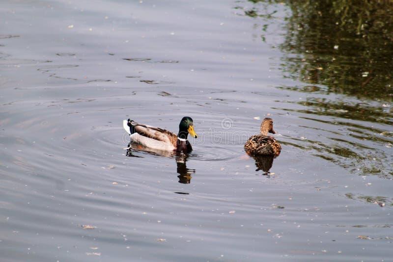 Para wodne kaczki pływa i cieszy się pięknego naturalnego środowisko/parę mallards i ptaki w miłości obrazy stock