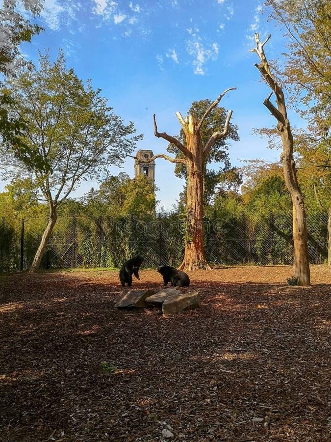 Para zagrażający azjatykci czarni niedźwiedzie walczy w nagrody wining przyrodzie parkowy Pairi Daiza obrazy stock