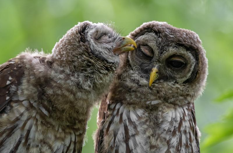 Para Zakazujący Owlets w drzewie zdjęcie stock