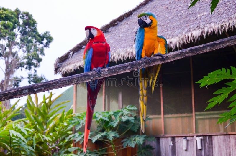Para zieleni i koloru żółtego ary siedzi wpólnie w Tambopata parku narodowym, Peru obraz royalty free