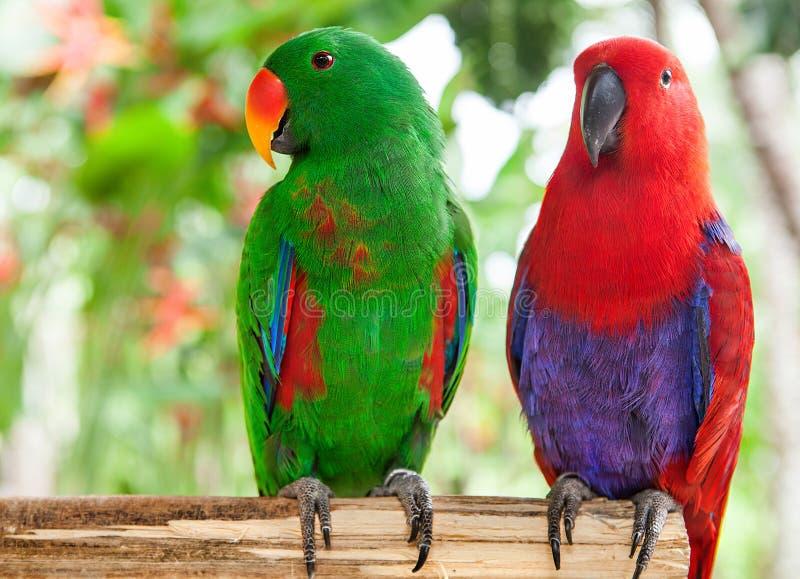 Para zielone i czerwone Solomon wyspy Eclectus papugi obrazy stock